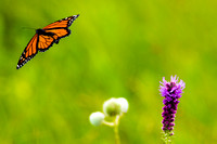 Male Monarch (Danaus plexippus) in flight from Blazing Star (Lia