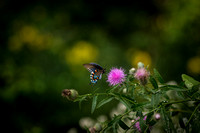Swallowtail Butterflies in Morning Light - 08/31/14