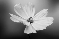 Black & White  Cosmos
