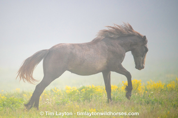 Broadfoot Herd - Wild Horses of Missouri by Tim Layton 04-25-21