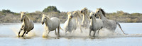 Herd of White Camargue horses running through water
