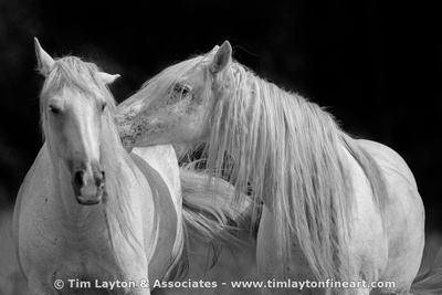 Wild Horses of Shannon County Missouri by Tim Layton