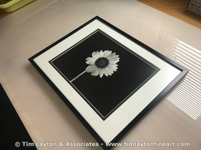 Sunflower - Large Format B&W Silver Gelatin Contact Print by Tim Layton