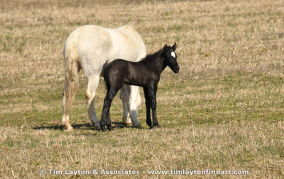 New Foal in the Broadfoot Herd by Tim Layton