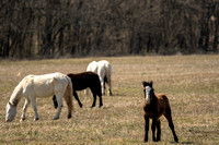 Wild Horses of Missouri - Broadfoot Herd - 03/07/20 by Tim Layton