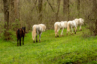 Wild Horses of Missouri - Round Spring Herd - 04/04/2020 by Tim Layton