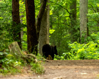 Black Bear on Trail To John Oliver's Cabin by Tim Layton