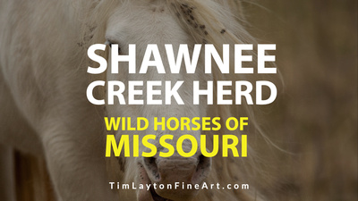 Wild Horses of Missouri Shawnee Creek Herd by Tim Layton