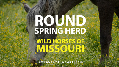 Wild Horses of Missouri Round Spring Herd by Tim Layton