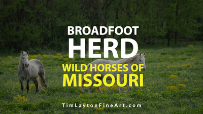 Wild Horses of Missouri Broadfoot Herd by Tim Layton