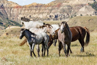 Wild horses in Theodore Roosevelt National Park.