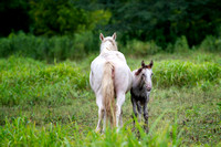 8/1/20 - Shawnee Creek Mare and New Foal - Wild Horses of Missouri by Tim Layton