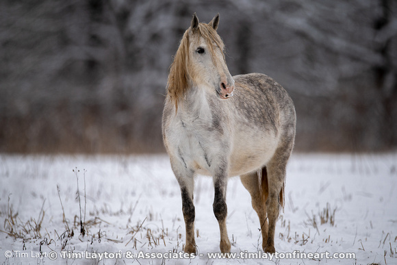 Wild Horses of Shannon County, Missouri in Winter Snow by Tim Layton