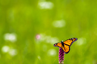 Male Monarch (Danaus plexippus) on Blazing Star (Liatris pycnost