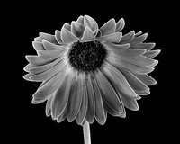 Black & White  Gerbera Daisy