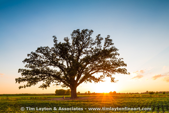 McBaine Bur oak (Quercus macrocarpa) tree Sunset by Tim Layton