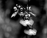 Black & White  Orchid