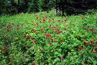 Smoky Mountain Wildflowers - Trail to Clingman's Dome