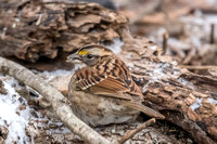 White-throated Sparrow - 1/5/17