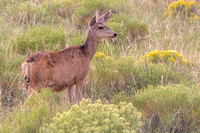 Deer - Great Sand Dunes National Park - Colorado