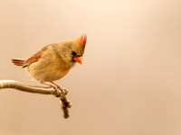 Female Cardinal - 1/19/17 - Ozark Mountains