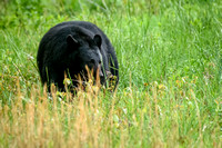 Black Bear - Cades Cove, Spring 2017