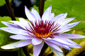 Lavender/Purple Water lily