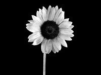 Black & White  Sunflower