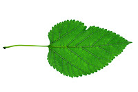 Red mulberry (Morus rubra) Leaf