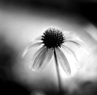 Black & White  Coneflower