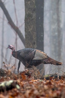 Wild Turkey - Ozark Mountains - 1/15/17