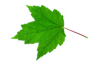 Red maple (Acer rudrum) Leaf