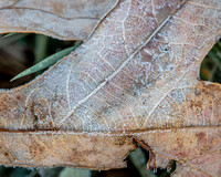 Winter Hike 11/14/16 - Morning Frost on Leaf