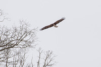 Bald Eagle - Missouri Ozarks - 1/17/17