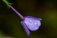 Smoky Mountain Wildflower - Purple