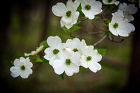 Early Spring Dogwood Tree Blooms