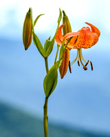 Tiger Lily at Clingmans Dome