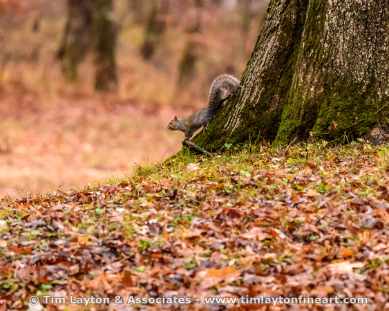 Gray squirrel - Big Spring - Missouri Ozarks