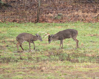 Two Bucks Sparring in Cases Cove - 12/18/16