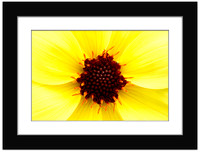 Yellow Dahlia - With Sample Mat & Frame