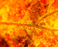 Impressionist - Fall Oak Leaf 1