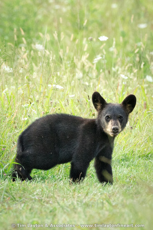Black Bear - Great Smoky Mountains