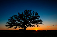 Sunset on the McBaine Bur oak Tree